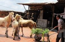 Triển vọng của nghề nuôi ngựa bạch ở Phú Bình