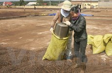 Giá càphê nhân Đắk Lắk đạt đỉnh cao nhất 13 năm