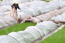 Sâu bệnh hại lúa nguy hiểm phát sinh ở nhiều nơi