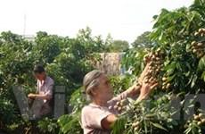 Nhãn Hưng Yên được mùa mà người trồng kém vui