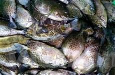 Thừa Thiên-Huế: Được mùa cá dìa, ngư dân bội thu
