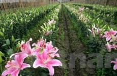 Các làng hoa Hà Nội chuẩn bị cho Quốc tế Phụ nữ