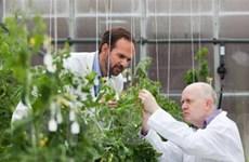 Các nhà khoa học đã giải mã di truyền của cà chua