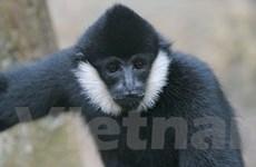Phát hiện loài Vượn đen tuyền quý hiếm ở Phú Thọ