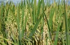 VN lai tạo thành công hai giống lúa chất lượng cao