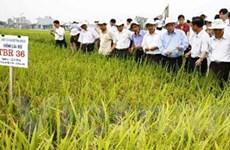 Thái Bình mở rộng diện tích SX lúa chất lượng cao