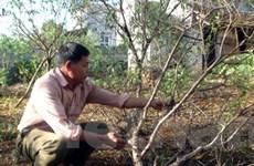 Ninh Bình trước nguy cơ mất mùa hoa đào Tết