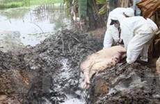 Dịch lợn tai xanh lây lan nhanh tại Bắc Trung Bộ