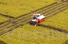 Cà Mau: Sản xuất lúa sạch đạt tiêu chuẩn xuất khẩu