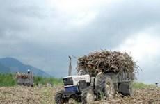 Hậu Giang: Bao tiêu hơn 10.000ha mía cho nông dân