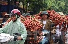 Vải thiều Bắc Giang được giá, nông dân phấn khởi