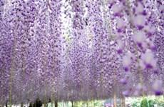 Tour Nhật: Giảm tới 11 triệu đồng vào mùa hoa tử đằng