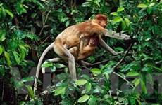Phát hiện loài khỉ mới trong rừng sâu Amazon