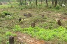 Rừng thông Đắk Đoa đang dần biến mất