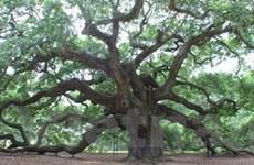 38.000 người đau đầu vì một... cây sồi già