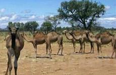 Ăn thịt lạc đà hoang để... bảo vệ môi trường