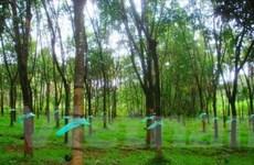 Trồng 10.000ha cây công nghiệp các loại tại Lào