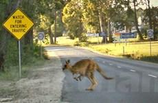 """Chuột túi - """"Sát nhân đường phố"""" tại Australia"""
