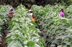 Nhiễm nicotine vì làm việc trên cánh đồng thuốc lá