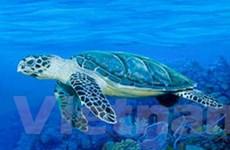 Thả 850 con đồi mồi nuôi trái phép xuống biển