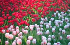 Hà Lan tặng Hà Nội 30.000 bông hoa tulip
