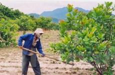 Dự án trồng 10.000ha điều ở Bình Dương thất bại