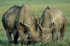 Nạn săn trộm tê giác hoành hành ở Nam Phi