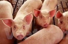 Mỹ xác nhận trường hợp lợn nhiễm virus H1N1