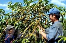 Người trồng càphê Tây Nguyên: Nơm nớp nỗi lo