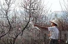 Người trồng đào Hà Nội rậm rịch tuốt lá cho cây