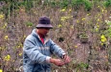 TP.HCM: Trên 900ha hoa, cây kiểng phục vụ Tết
