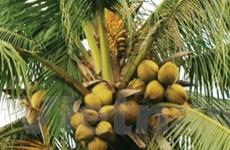Tìm biện pháp để nâng cao giá trị của cây dừa