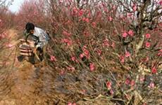 Người trồng đào tất bật vào giai đoạn nước rút