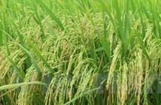Các tỉnh phía Nam phấn đấu đạt 23 triệu tấn lúa