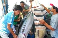 Xuất khẩu cá ngừ sang nhiều thị trường tăng mạnh