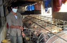 Hai tỉnh được hỗ trợ vắcxin phòng dịch tả ở lợn