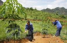 VRG triển khai đợt trồng cây cao su tại Campuchia