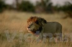 Sư tử châu Phi nguy cơ tuyệt chủng 2 thập kỷ tới