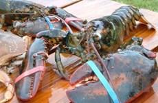 Bắt được tôm hùm nước ngọt khổng lồ nặng 2,6kg