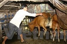 12 tỉnh bùng phát dịch lở mồm long móng gia súc