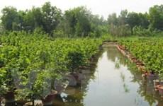 Hàng nghìn gốc mai bị ngập nước do triều cường