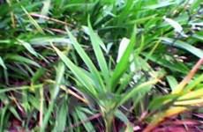 Trồng cây rễ hương dưới tán rừng cho hiệu quả cao