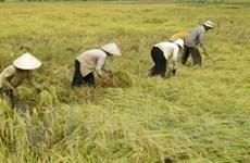 Giá lúa gạo ở Đồng bằng sông Cửu Long tăng cao