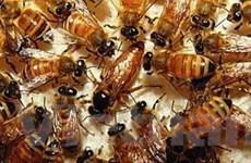 Hành khách kinh hoàng vì ong vỡ tổ trên máy bay