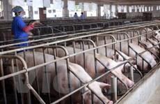 Chưa có kết luận về dùng chất cấm trong chăn nuôi