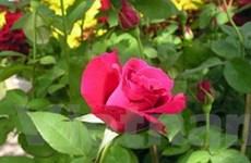 """Xây dựng nhãn hiệu """"Hoa Đà Lạt"""" cho năm loại hoa"""