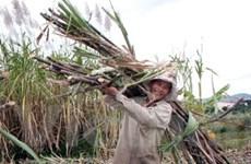 Giá mía xuống thấp, nông dân gặp nhiều khó khăn