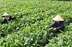 Cung cấp 1,6 triệu tấn rau đặc sản Đà Lạt dịp Tết