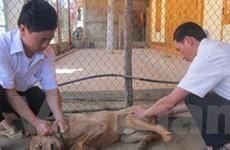 Tỉnh Lào Cai đã cơ bản khống chế được dịch chó dại