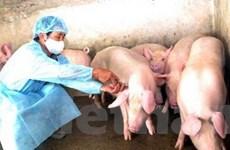 Lợn chết đột ngột ở Điện Biên không do dịch tai xanh